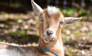 A happy pet goat in a backyard perhaps in Eugene