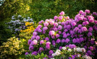 Rhododendrons like those at Hendrick's Park Eugene Oregon