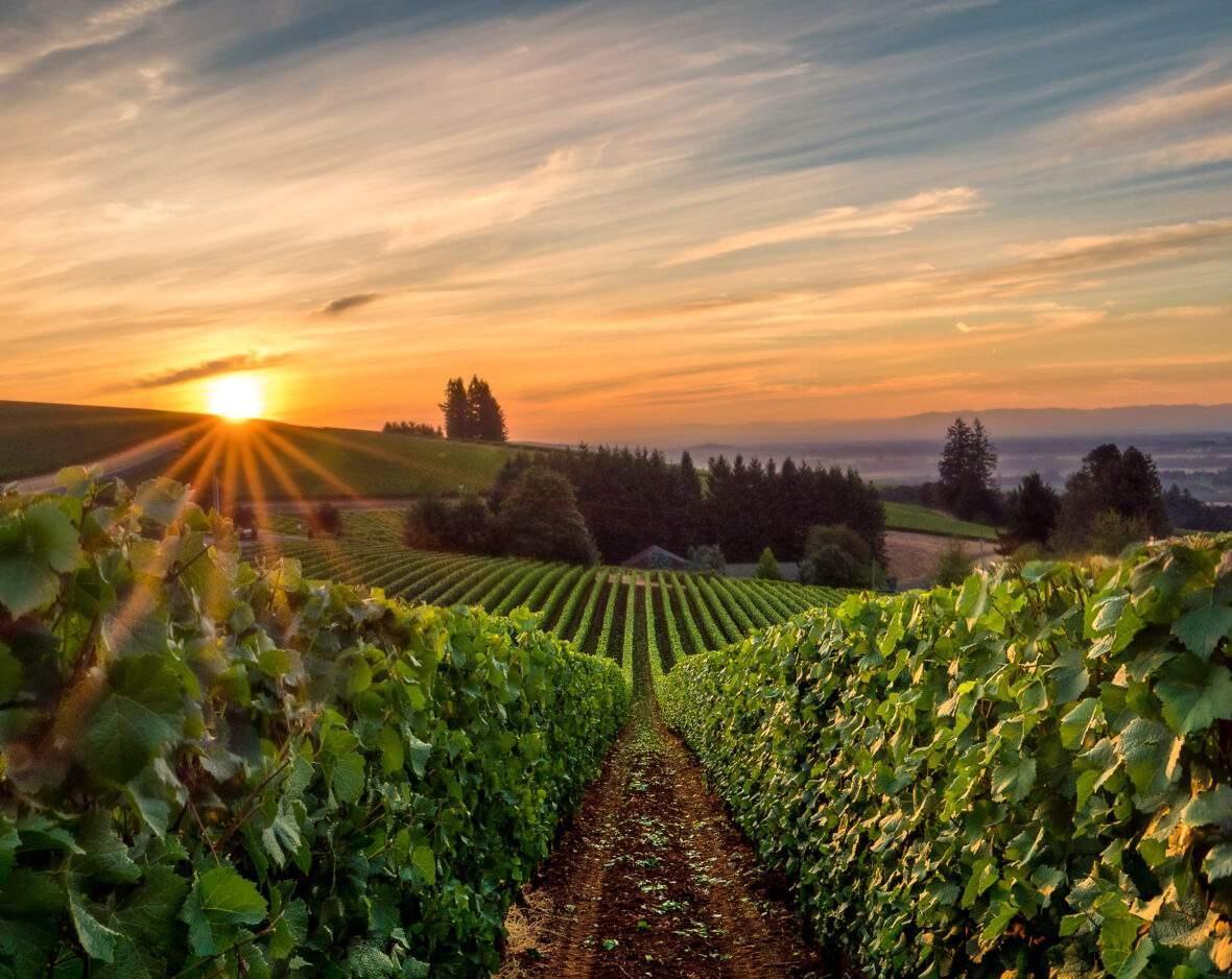 Sun rising over a vineyard in the Willamette Valley near Eugene, Oregon